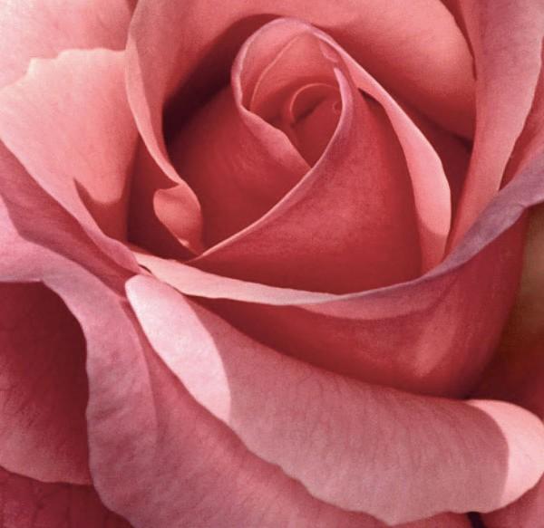 rose-partenaires-w
