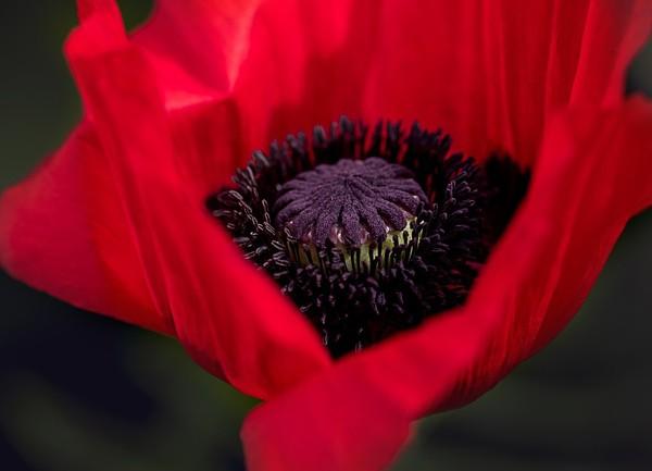 coquelicot-rouge-185024